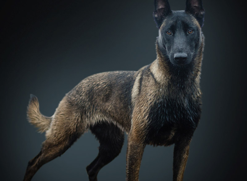 Belgian Malinois Trained Dogs For Sale